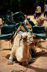 Oasis Park (missteree) Tags: summer island spain holidays fuerteventura caravan camels costacalma oasispark
