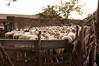 _DSC2115 (Fabio_Bianchini) Tags: italia fotografia giorno fattoria ovino animaledomestico mandria bestiame romacittà ambientazioneesterna senzapersone grandegruppodianimali 92911287 stareinpiedi imbrancare soggetticonanimali composizioneorizzontale capitaliinternazionali