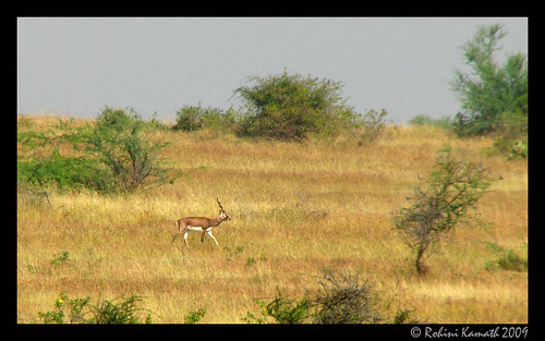 BlackBuck_MaleLone