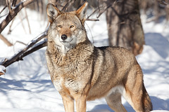 Red Wolf (Sam Attal) Tags: red animal mammal wolf endangered cannine mennisota wildlifescincecenter