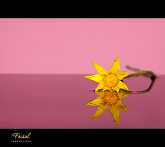 Shy! (Faisal | Photography) Tags: pink flower reflection yellow pure canonef100mmf28macro canoneos50d canonspeedlitetransmitterste2 canonspeedlite580exii faisal|photography