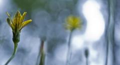 Sunday, 10th Dec (Bronte Lockwood) Tags: sky plant blur flower beach up yellow point coast interesting weed focus pretty looking bokeh central dream australia pearl bronte dandlion