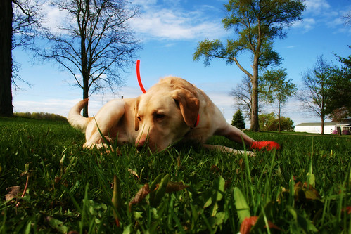 yellow Labrador Retriever - Dylan