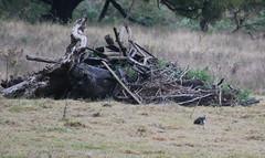 straw neck ibis (tkmckinn) Tags: birds australia july09