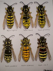 Vespula Variations. (Vespula sp.) (Queens...) (Addicted2Hymenoptera :)) Tags: wasp drawing yellowjacket vulgaris germanica vespula rufa vidua consobrina squamosa