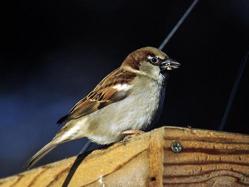 eur sparrow