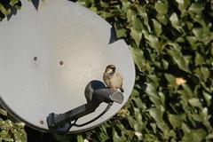 Satellite sparrow (www.kevinoakhill.com) Tags: uk cambridge england sky house bird birds lens nikon europe dish satellite sigma sparrow perch perched fen ornithology birdwatching cambridgeshire wicken d40 150500mm