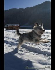 Auf der Flucht... (mcPhotoArts) Tags: wood schnee winter shadow dog chien snow escape action getaway perro hund cachorro wintertime holz aktion winterzeit flucht htehund schatte bergerpicard bergerdepicardie canoneos400d sigma1770mm2845dcmacro photoshopcs4 bumblebeephotografix