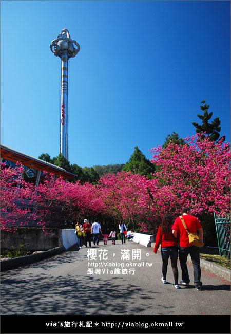【九族櫻花季】櫻花滿開!最浪漫的九族文化村櫻花季10
