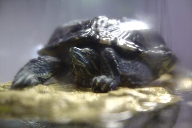 Mon tortue, Elvis