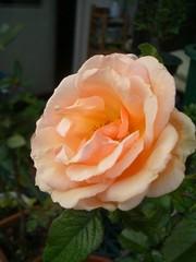 fragrant apricot