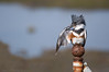 That Pesky Itch, Belted Kingfisher (Nick Chill Photography) Tags: california detail bird nature animal closeup fauna photography nikon image sandiego wildlife stock wing feathers preening sigma waterbird oceanbeach birdwatching animalia avian itch beltedkingfisher cerylealcyon naturesfinest d90 specanimal robbfield avianexcellence 150500mm slbpreening nickchill photocontesttnc10 nwfphotocontest2010
