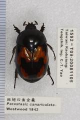 1592 (esrimed-beetle) Tags: scarabaeidae  parastasiacanariculata  parastasia
