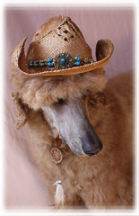 Western Spoo (Higher Standards) Tags: spoo poodle cowboyhat standardpoodle cowdog redpoodle