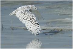 Owl (Snowy) - 1855 (Earl Reinink) Tags: flight raptor snowyowl snowyowlinflight earlreinink wwwearlreininkcom wwwipaintca