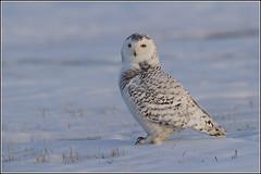 Owl (Snowy) - 1859 (Earl Reinink) Tags: flight raptor snowyowl snowyowlinflight earlreinink wwwearlreininkcom wwwipaintca