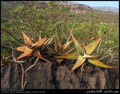 Aloe praetermissa in Wadi Shaboon, Dhofar (Shanfari.net) Tags: winter summer nature lumix succulent aloe raw natural panasonic oman wadi fz succulents skipped  zufar rw2 salalah sultanate dhofar shabon   khareef   mirbat    xanthorrhoeaceae asparagales praetermissa        governate shaboon   dofar fz38 marbat  fz35 dmcfz35   asphodeloideae aloepraetermissa