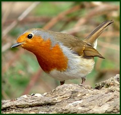 Mr Perky ! (Church Mouse 07) Tags: uk tree bird nature robin lumix march spring heart wildlife seeds panasonic british awards 2010 atthepark perky wildbird abigfave dmcfz28 churchmouse07 2platinum