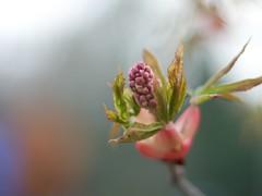 Macro III (Michel L M) Tags: madrid espaa naturaleza flower primavera nature pen 50mm spain f14 flor jardin olympus explore frontpage espagne fujinon ebc ep1 botnico ebcfujinon50mmf14
