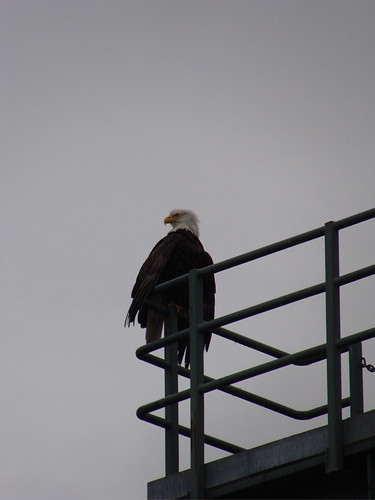 Bald Eagle overlooking Puget Sound ferries