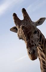 giraffe head 4