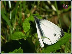 Blanco (mrtsantiso) Tags: naturaleza sun white black verde green hoja blanco sol nature butterfly bug leaf galicia tiny mariposa lugo negra bicho pequeño insecto bolboreta pierisnapi bgndaxd
