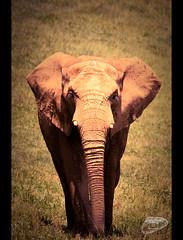 Africa en Cantabria (Carlos Celis) Tags: animals canon animales cantabria cantabrico elefantes cabarceno 450d vosplusbellesphotos carloscelis