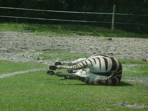 knocked over zebra.