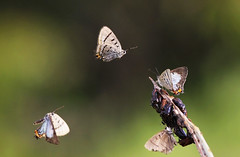 Imperial Hairstreaks :  Circle Game ... (Clement Tang ** Busy **) Tags: morning summer nature butterfly insect inflight wildlife australia victoria chrysalis closetonature concordians imperialhairstreak jalmenusevagoras candlebarkpark