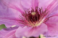 Clematis (lonnierocks) Tags: pink flowers plant flower macro nature floral beautiful beauty canon garden petals perfect pretty bc purple blossom gardening blossoms clematis victoria stamen botany 60d