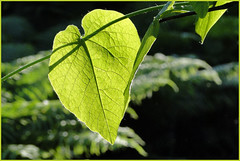DSC03101 (bernstrid) Tags: dof pflanze grn blatt ffo frankfurtoder hx1 dschx1