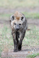 Spotted Hyena, Maasai Mara, Kenya