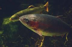 Gone Fishing - 07/52 2017 (MikeBrowne) Tags: fish aquarium water priime lightroom fujifilm fujifilmxt1 23mm
