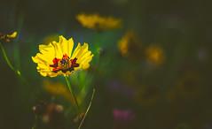 Wildflower (Dhina A) Tags: sony a7rii ilce7rm2 a7r2 minolta md zoom 3570mm f35 minoltamdzoom3570mmf35 1983 14 macro sharp bokeh constantf35 wildflower