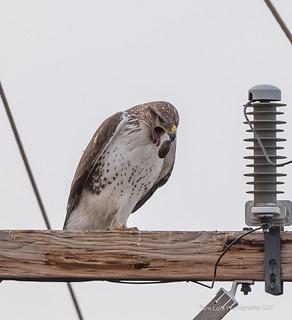 Ferruginous Hawk Expelling a Pellet