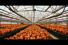 halloween pumpkin factory (Dan Anderson (dead camera, RIP)) Tags: orange fall halloween minnesota pumpkin jack october factory o jackolantern farm pumpkins harvest lantern stillwater patch mn countrysunfarms