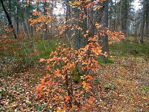 Höstfärgat träd