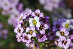 November Alyssum (Night Reader Bev) Tags: friends purple bokeh alyssum novemberflowers awesomeblossoms