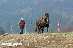 North Bohemia (Helena Go) Tags: horses cold logging heavy pferde plough draft blooded holzrcker