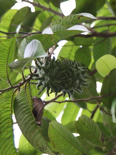Rollinia mucosa (Annonaceae)