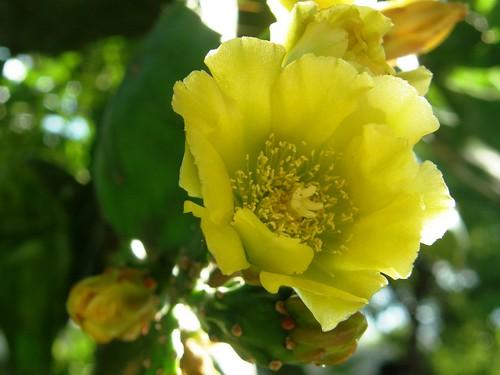 cactus, flor