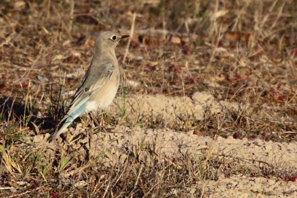 437_mountainBluebird5