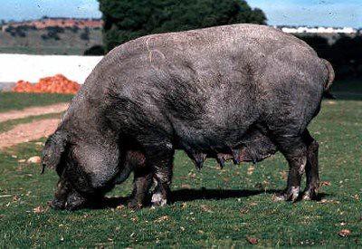 cerdo-iberico-negro