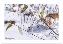 Gone (Imapix) Tags: snow canada rabbit bunny art nature animal canon photography photo hare foto photographie quebec gone qubec neige hunt photohunt chasse imapix fuite livre gaetanbourque escampette