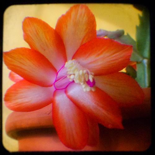316:365 Christmas cactus TtV