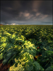 Brussel Sprouts - My Chrismas Shot ! (angus clyne) Tags: christmas sea cloud field clouds coast scotland angus north stormy east rows cabbage arbroath brusselsprouts flikcr auchmithie seatoncliffs brasica rowsandrows carlingheughbay lovethemhatethem