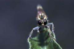 robber fly head-on (nom_oz) Tags: macro fly robberfly macros robber