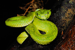Green Palm Viper (asnyder5) Tags: honduras cusuco nikon d80 jungle opwall bothriechismarchi bothriechis march marchi venom dangerous green greenpalmviper palmviper snake reptile serpent conservation biology operationwallacea centralamerica cusuconationalpark cloudforest merendon nature wildlife andrewsnyder andrew snyder asnyder5 nikon105mm 105mm latin america latinamerica andrewmsnyder research rainforest montanecloudforest tropical biodiversity taxonomy:kingdom=animalia animalia taxonomy:phylum=chordata chordata taxonomy:class=reptilia reptilia taxonomy:order=squamata squamata taxonomy:suborder=serpentes serpentes taxonomy:family=viperidae viperidae taxonomy:genus=bothriechis taxonomy:species=marchi taxonomy:binomial=bothriechismarchi marchspalmpitviper taxonomy:common=marchspalmpitviper