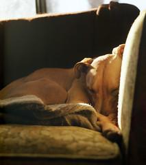 this year. (manyfires) Tags: portrait dog sun film window mediumformat nap naturallight canine pitbull couch hasselblad jakes esme palabra hasseblad500cm