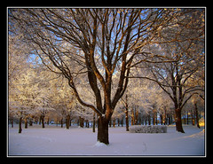 El árbol del parque. (afc07) Tags: park parque winter white snow tree blanco vinter sweden nieve árbol invierno sverige snö suecia parken vit trä falköping afc07 mössebergsparken